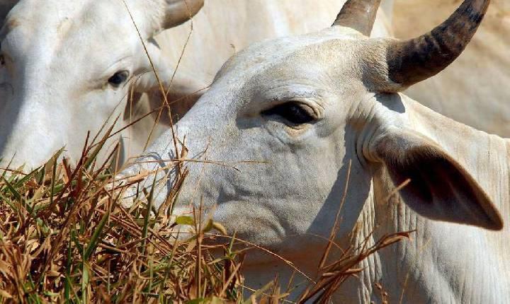Vacinação contra febre aftosa já imunizou 166 milhões de animais